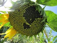 Семена подсолнечника   АТІЛЛА (Екстра)