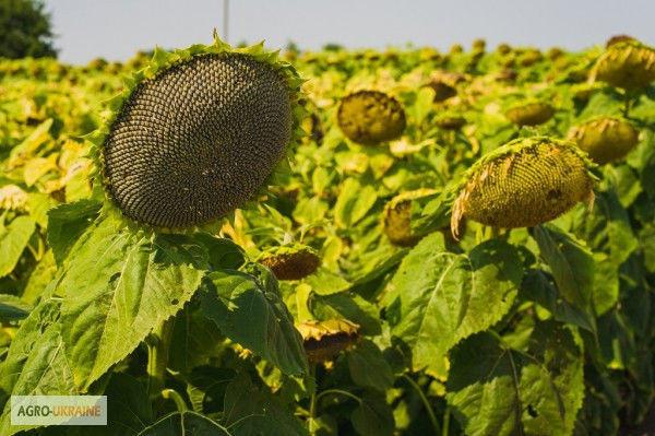 Семена подсолнечника  АУРІС (Економ) толерантний до Гранстару