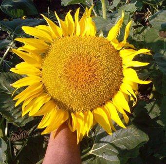 Семена подсолнечника  ЗАГРАВА (Стандарт) урожай 2014год