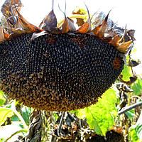 Семена подсолнечника  Семена подсолнечника НС-Х-6343 СТАНДАРТ