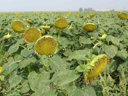 Семена подсолнечника  УКРАЇНСЬКЕ СОНЕЧКО (Економ)