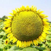 Насіння соняшнику МОРАВА (стандарт)