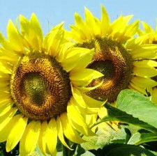 Семена подсолнечника НС-Х-2063 Элита