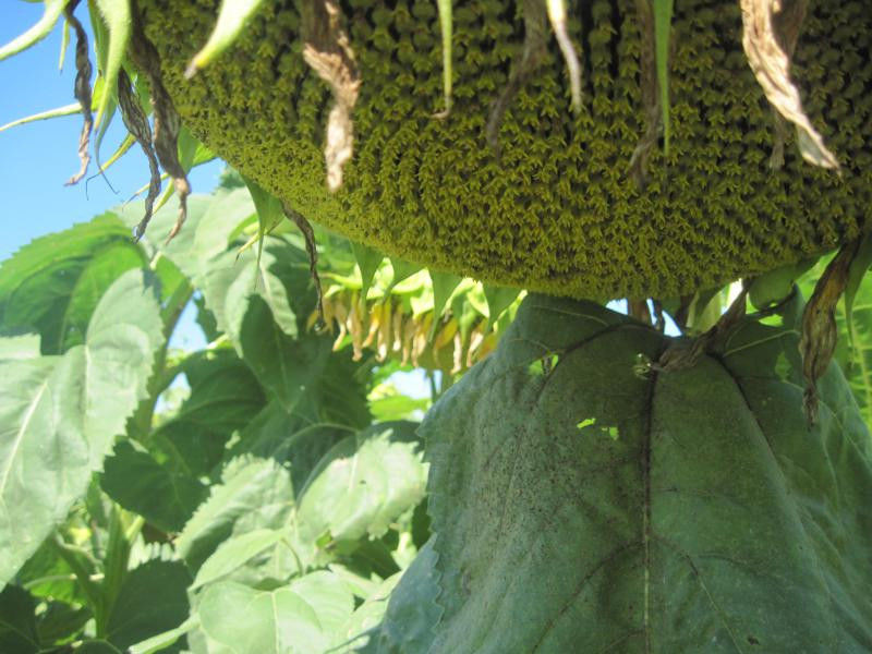 Семена подсолнечника Форвард