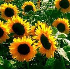 Семена подсолнечника ХОРС (стандарт)