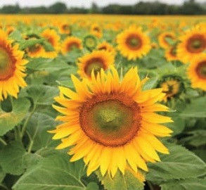 Семена подсолнечника ЯНІНА (Янина) (стандарт)