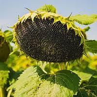 Семена подсолнечника Соняшник, гібрид, F1Славсон (стандарт)