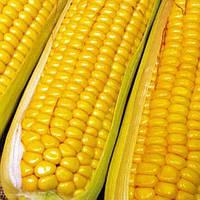 Семена кукурузы НС - 101