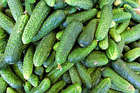 Весовые семена Огурца  Закуска