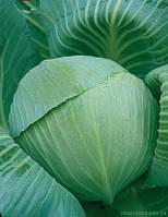 Семена капусты Лангедейкер