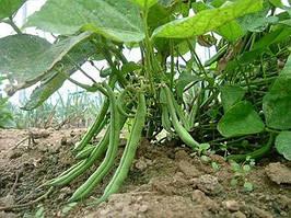 Семена фасоль Спаржевая