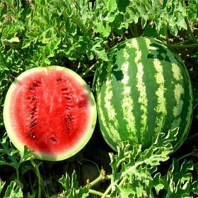 Семена арбуза Альянс ( весовые от производителя)