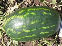 Семена арбуза Роял Маджестик ( весовые от производителя)