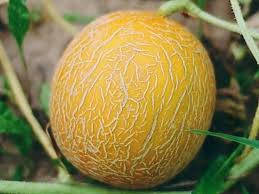 Семена оптом дыня Лада от производителя.