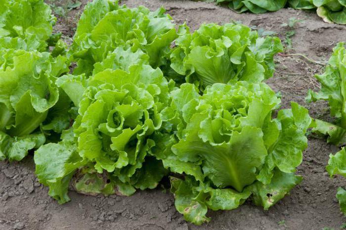 Семена салата Светло-зеленый Кудрявец(Италия)