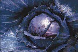 Семена капусты Лангедейкер ред