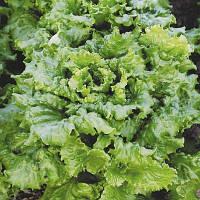 Семена салата Азарт