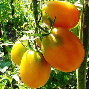 Семена томатов Де Барао Жёлтый (Золотой)
