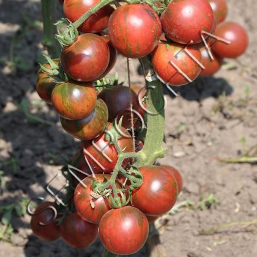 Семена томатов Вернисаж Черный