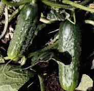 Семена огурцов Караоке f1