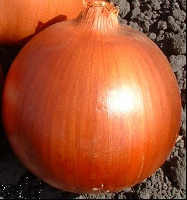Семена лука Эталон Голд
