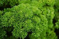 Семена петрушки Мооскраузе 2