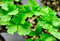 Семена петрушки Листовая