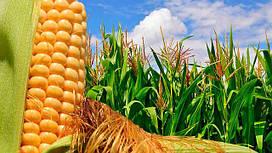 Семена Кукурузы. Урожай 2018 год