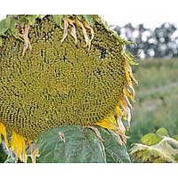 Семена подсолнечника Меркурий OR калибровка 3,2-3,6 (Экстра)