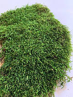 Стабилизированых мох плоский  200 грамм.