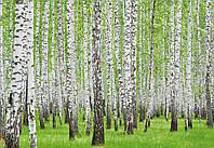 Фотообои 3D природа 254х184 см : Березовый лес (157.20369P4)