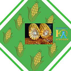 Гібрид кукурудзи ІСХ 303