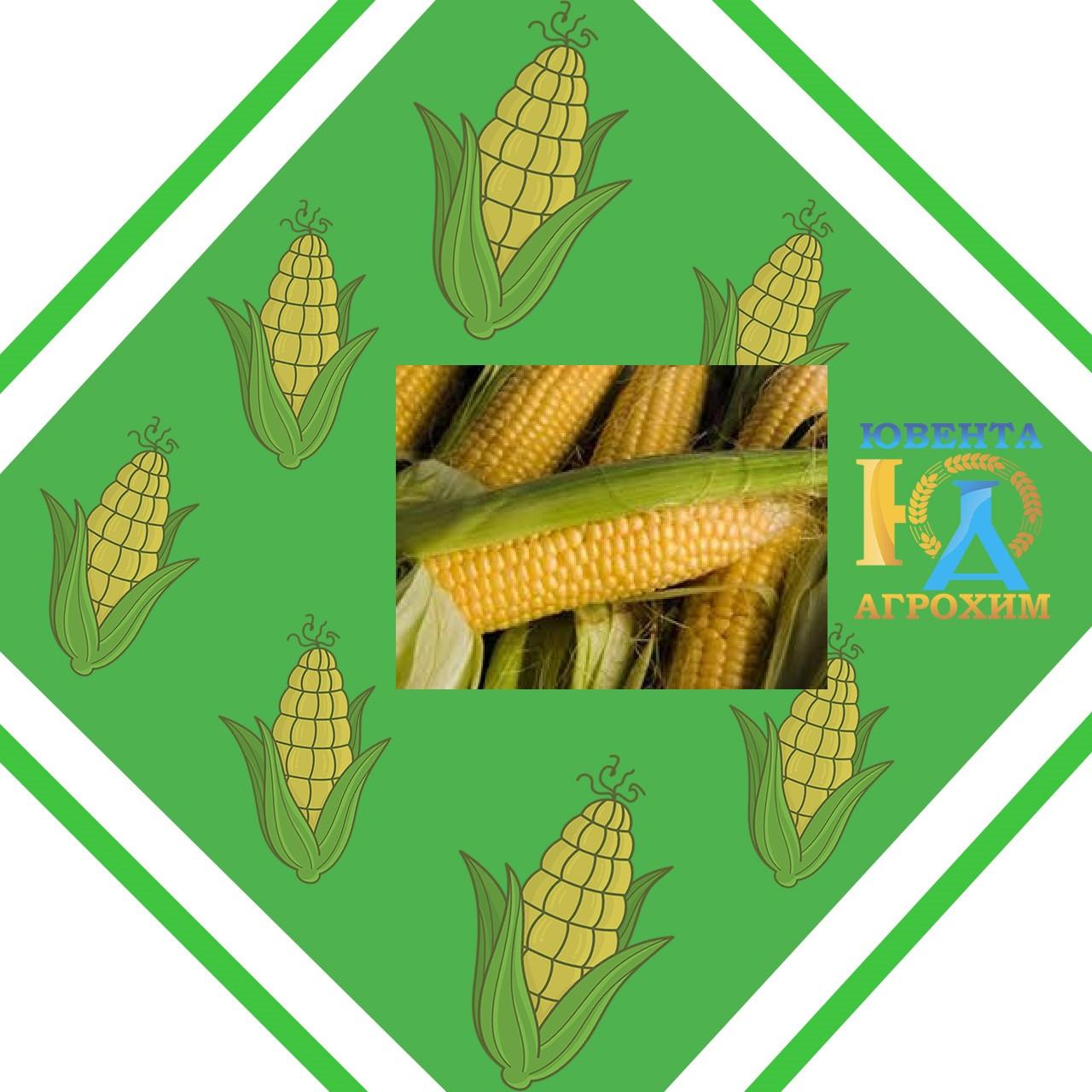Насіння кукурудзи AS 33008