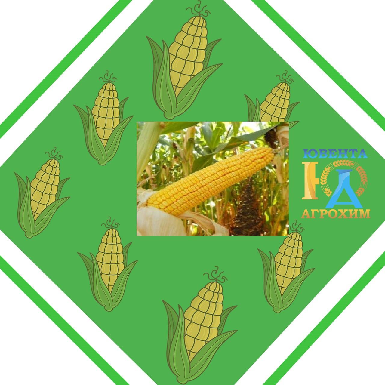 Семена кукурузы AS 33033