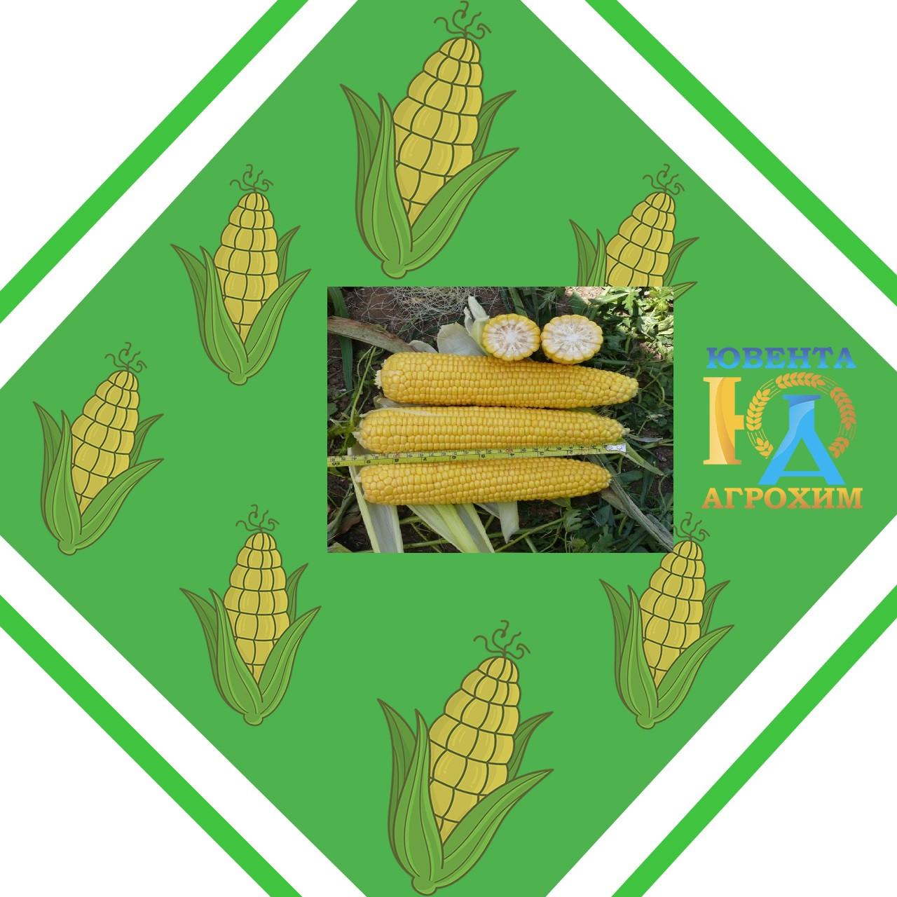 Семена кукурузы AS 13291, простой гибрид (ФАО 290)