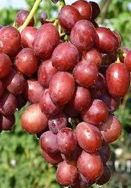 Виноград Рубиновый Юбилей, фото 2