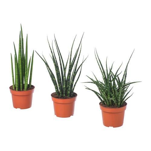 SANSEVIERIA, Комнатное растение - ТОП ПРОДАЖ
