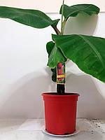 Банан Красный (Musa acuminata Red Dacca) 30-40 см. Комнатный