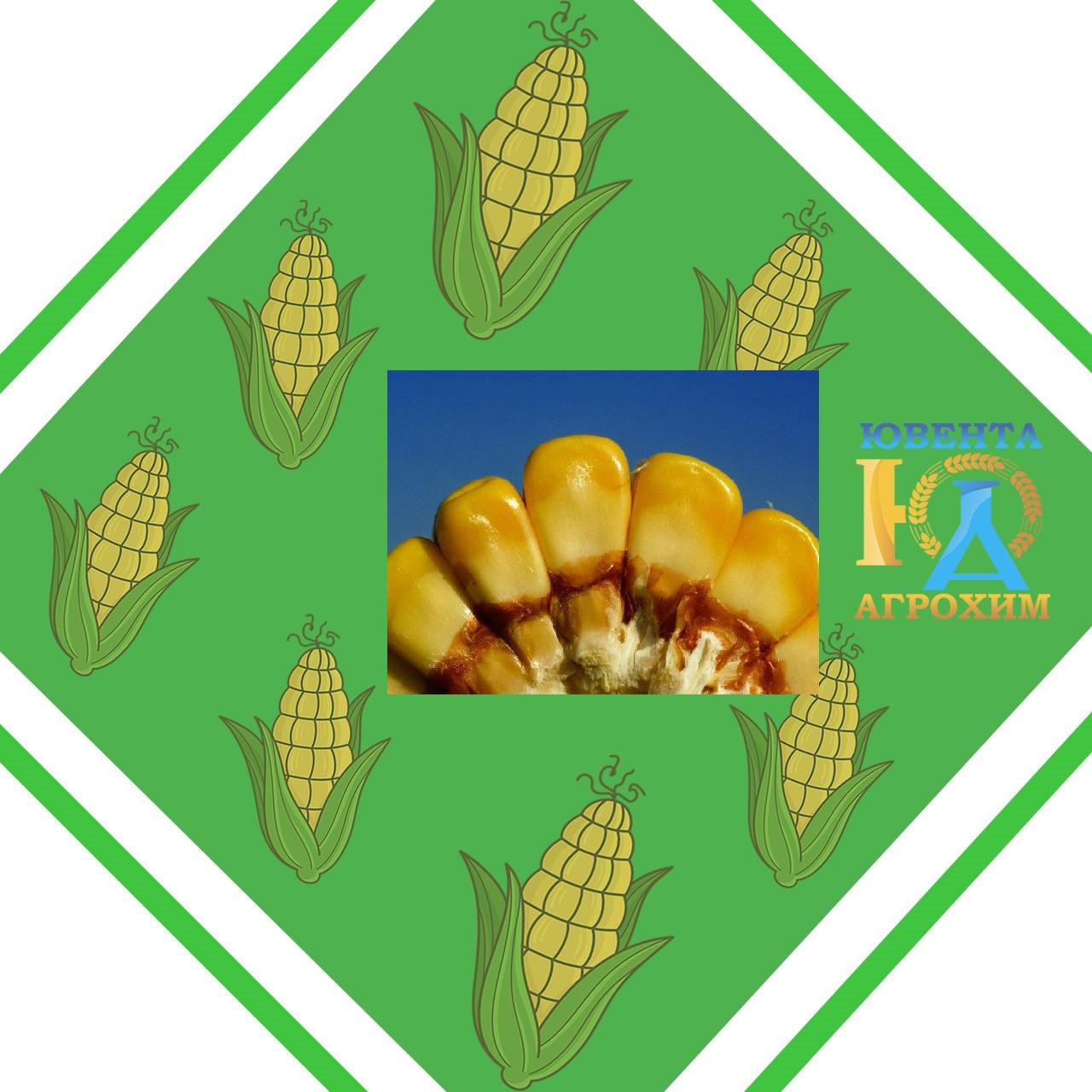 Семена кукурузы НК Альтиус