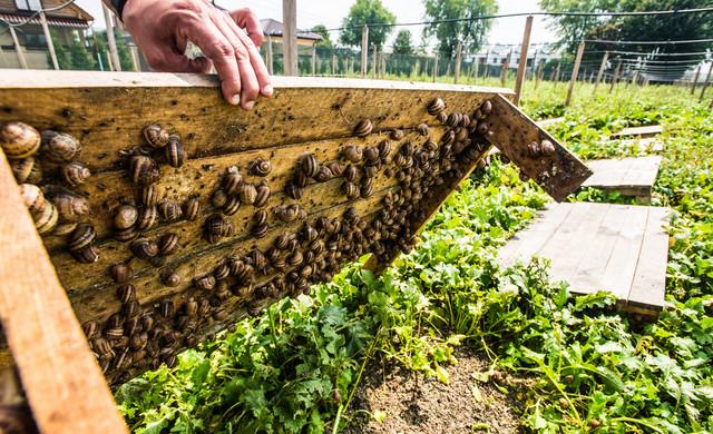 бізнес на вирощуванні равликів на Волині
