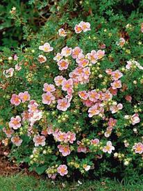 Лапчатка Pink Beauty 2 річна, Лапчатка кустарниковая Пинк Бюти, Potentilla fruticosa Pink Beauty
