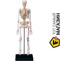Модель - 4D Master - Скелет человека (26059) пластмасса