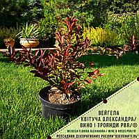 Вейгелаквітуча Олександра/ Вино і трояндиPBR/®   Weigela florida Alexandra / WINE AND ROSES PBR/®, фото 1