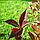 Вейгелаквітуча Олександра/ Вино і трояндиPBR/®   Weigela florida Alexandra / WINE AND ROSES PBR/®, фото 4