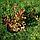 Вейгелаквітуча Олександра/ Вино і трояндиPBR/®   Weigela florida Alexandra / WINE AND ROSES PBR/®, фото 5