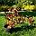 Вейгелаквітуча Олександра/ Вино і трояндиPBR/®   Weigela florida Alexandra / WINE AND ROSES PBR/®, фото 3