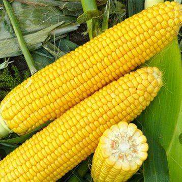 Всё, что нужно знать о выращивание кукурузы в Украине