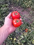 Семена томата Сагатан F1 (2500 сем.) Syngenta, фото 3