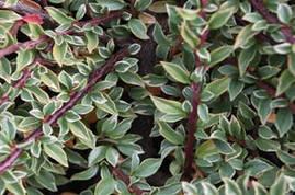 Кизильник горизонтальний Variegatus 3 річний, Кизильник горизонтальний Вариегатус, Cotoneaster Variegatus, фото 3