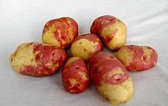 Секреты выращивания картофеля Пикассо